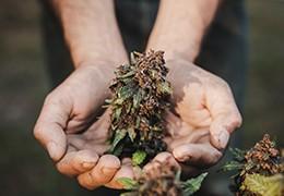 Prečo pestovať konope a aký vplyv má konope pre našu zem.